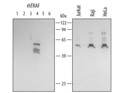 TRAF-4 Antibody