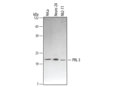 PRL-3 /PTP4A3 Antibody