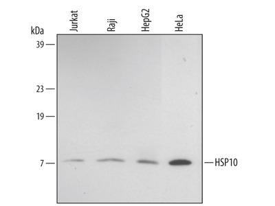Human HSP10 / EPF Antibody