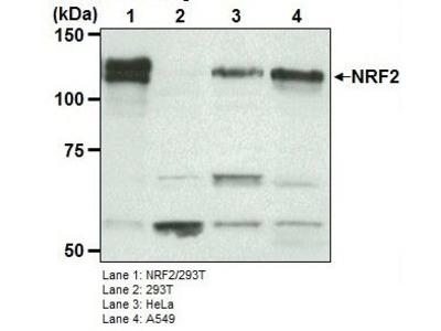 Anti-NRF2 pAb