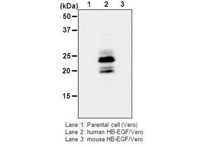 Anti-HB-EGF (Human) mAb