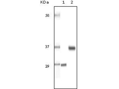 Anti-SRA antibody [7H1G1]