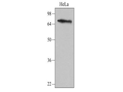 Anti-NSD3 antibody [2E9]