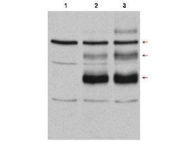 Anti-C-Myb antibody