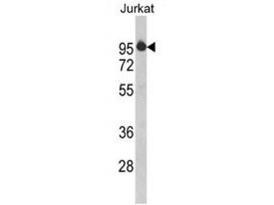 Anti-HTATSF1 antibody, N-term