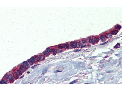 Anti-PLUNC antibody, Internal