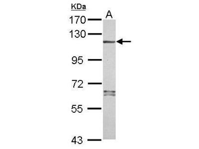 Anti-NLRP7 antibody [N3C2], Internal
