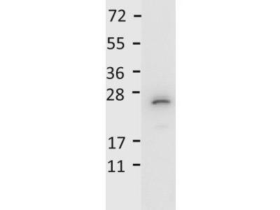 Anti-IL27 antibody