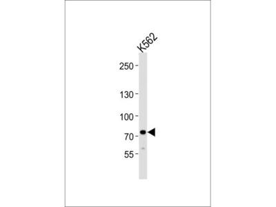Anti-SOX30 antibody, Internal