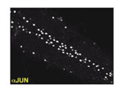 Anti-Drosophila Jun antibody (N-terminal)