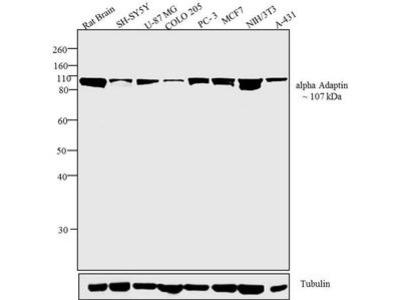 Anti-alpha Adaptin antibody [AC1-M11]