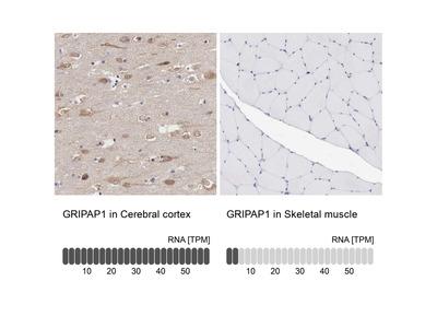 Anti-GRIPAP1 Antibody