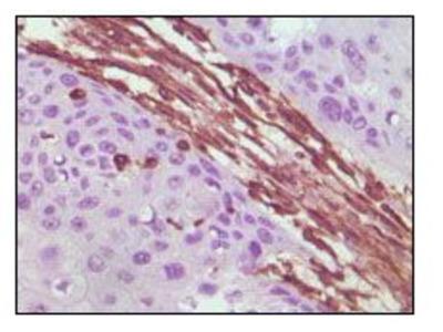 Anti-Vimentin antibody [4F2E9]