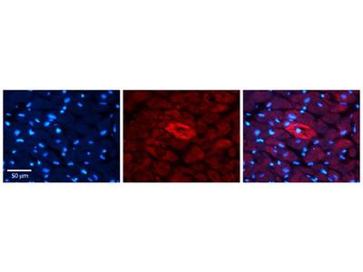 Anti-MTRR antibody, N-term