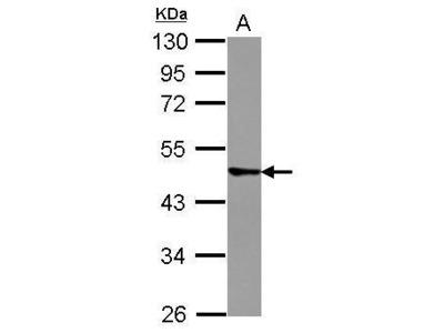 Anti-TRIM43 antibody [N1C1]
