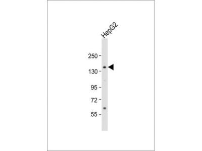 Anti-AOX1 antibody, Internal