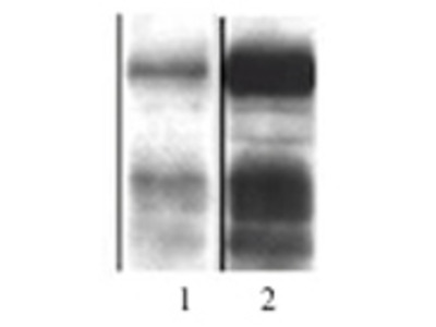 Anti-Drosophila Jun antibody (C-terminal)