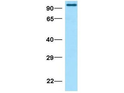 Anti-SUN1 antibody, N-term