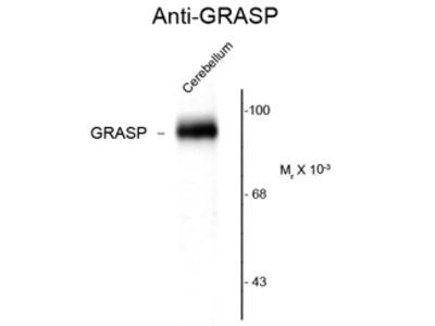 Anti-GRASP1 antibody