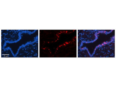 Anti-Exportin T antibody, Internal