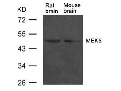Anti-MEK5 antibody