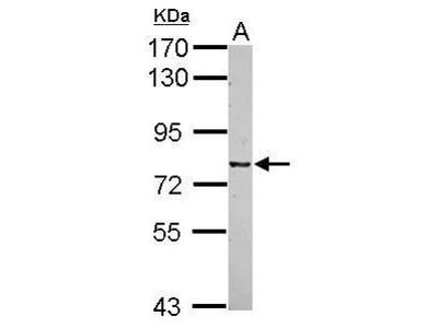Anti-CSRP2BP antibody [N1N3]