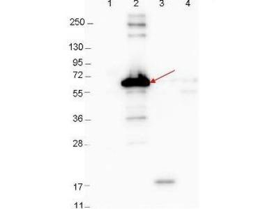 Anti-Dbp-A antibody