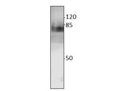 Anti-Thickvein antibody