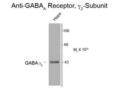 Anti-GABA A Receptor gamma 2 antibody