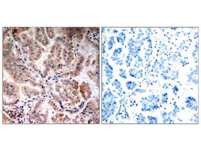 Anti-AMPK alpha 1/2 antibody