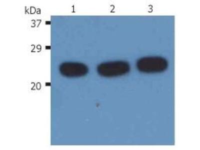 Anti-H-Ras antibody [H-RAS-03]