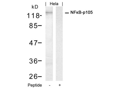 Anti-NFkB p105 antibody