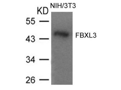Anti-FBXL3 antibody