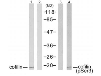 Anti-Cofilin 1 (phospho Ser3) antibody