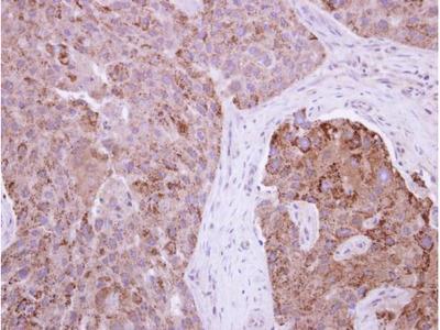 Anti-RAB11FIP1 antibody [N1N2], N-term