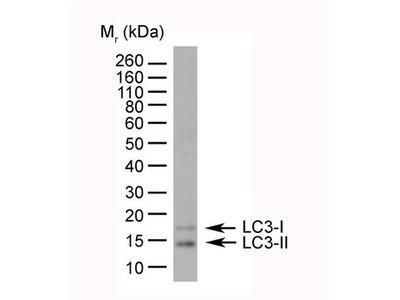 Anti-LC3A/B antibody, N-term