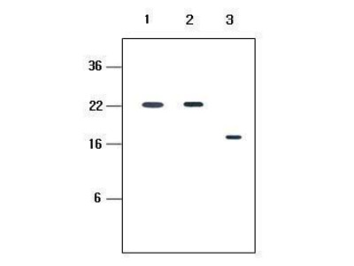 Anti-KIR2D antibody [2H6]