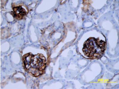 Podoplanin Antibody