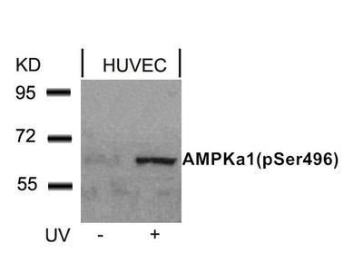 Anti-AMPK alpha 1 (phospho Ser487) antibody