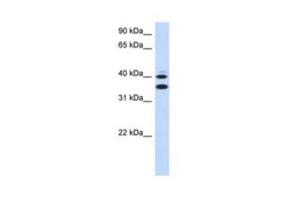 Anti-SLC25A32 antibody, Internal