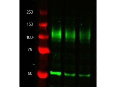 Anti-LAMP2 antibody [M3/84]