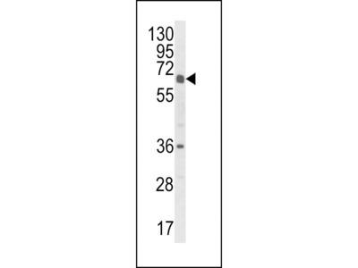 Anti-CYP2C18 antibody, C-term