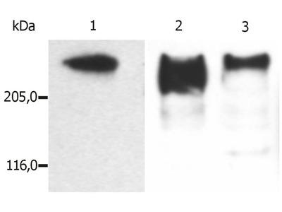 Anti-MAP2 antibody [MT-08]
