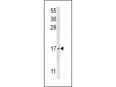 Anti-LTC4S antibody, N-term