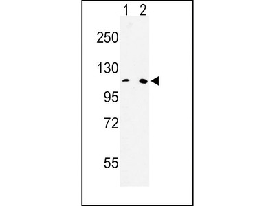Anti-MTTP antibody, C-term