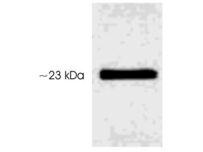 Anti-Serotonin N-AT (phospho Ser206) antibody
