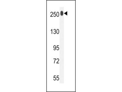 Anti-LTBP1 antibody, C-term