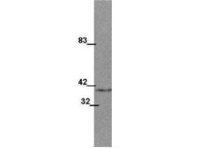 Anti-Wnt1 antibody [13F9]