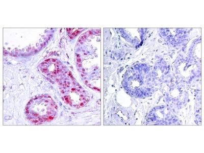 Anti-c-Jun (phospho Ser243) antibody