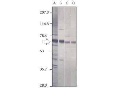 Anti-Punt antibody